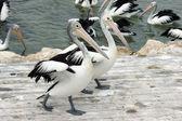 Pelikán australský klokaní ostrov
