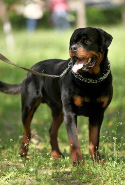 Deutsch Rottweiler Guard Dog