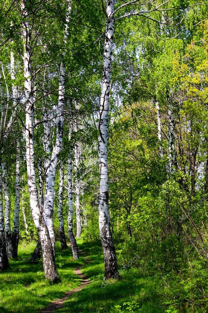 Beautiful spring birch grove
