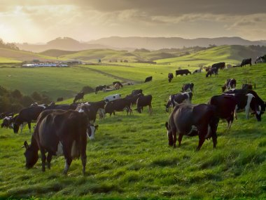 grazing cows in hilly countryside