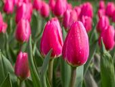 Skupina růžových tulipánů