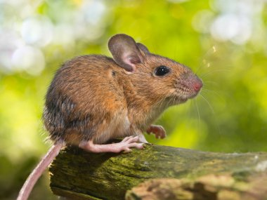 Side View of a Field Mouse (Apodemus sylvaticus) on a Branch