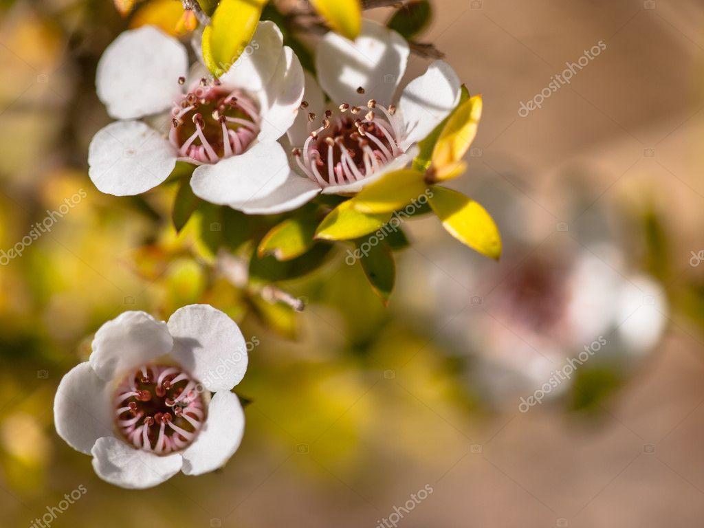 Detail of manuka flower