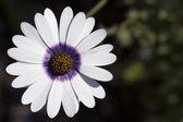Fotografie White Osteospermum