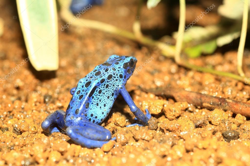 Blue Poison Dart Frog (Dendrobates azureus) in Republiek Suriname