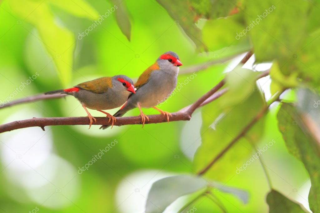 Red-browed Finch (Neochmia temporalis) in Cairns,Australia