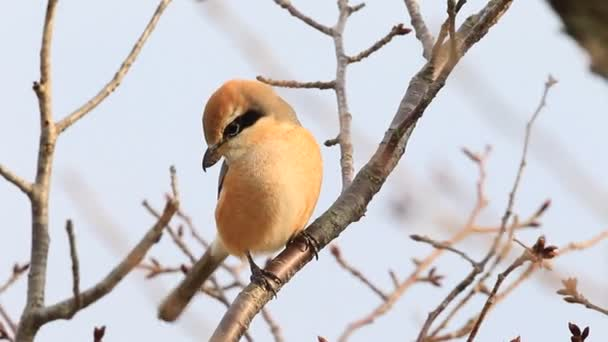 Καουμπόη μεγάλο πουλί