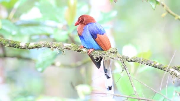 Sri Lanka or Ceylon Blue Magpie (Urocissa ornata) in Sri Lanka