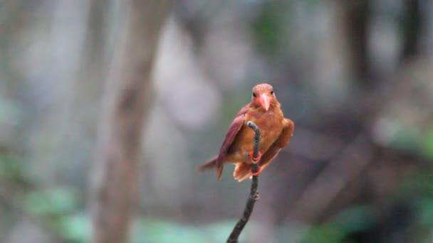 Roter Eisvogel (halcyon coromanda) auf der Insel Ryukyu, Okinawa, Südjapan