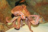 Fotografie Common octopus (Octopus vulgaris) in Japan