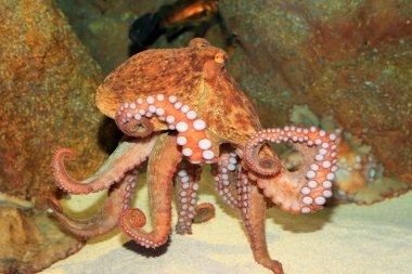 Common octopus (Octopus vulgaris) in Japan