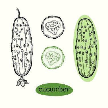 Cucumber. Vector illustration on white background .