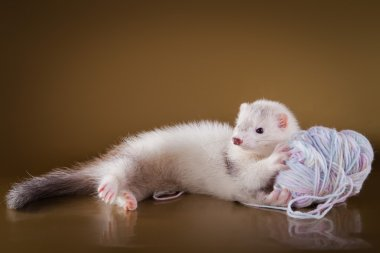 Ferret on a colored background