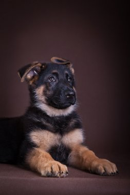 Puppy. German Shepherd Dog Breed