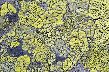 Yellow lichen means no air pollution
