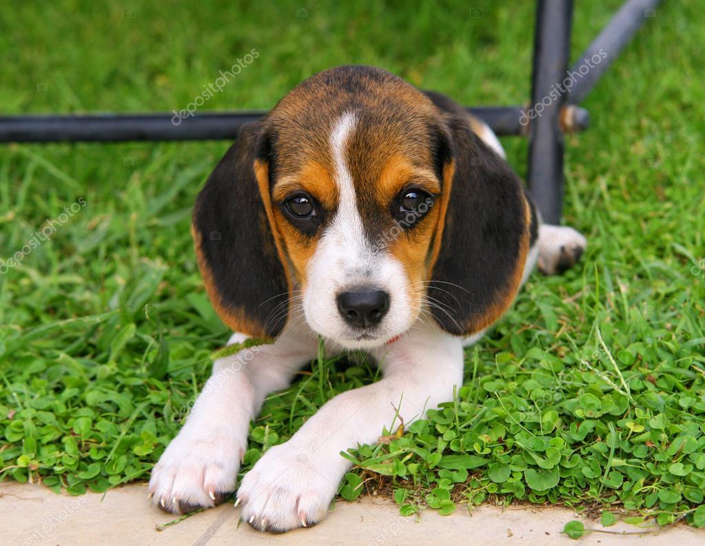 Cute beagle puppy stock photo antoniogravante 29165941 cute beagle puppy in the grass photo by antoniogravante voltagebd Gallery