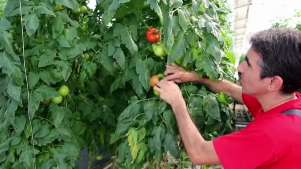 zemědělec sleduje růst rajče