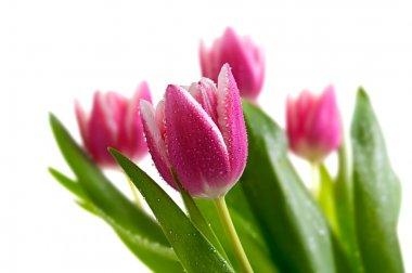 """Картина, постер, плакат, фотообои """"розовые тюльпаны, изолированные на белый цветы розы модульные города"""", артикул 20616703"""