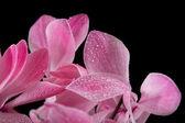 foglie di viola fiore