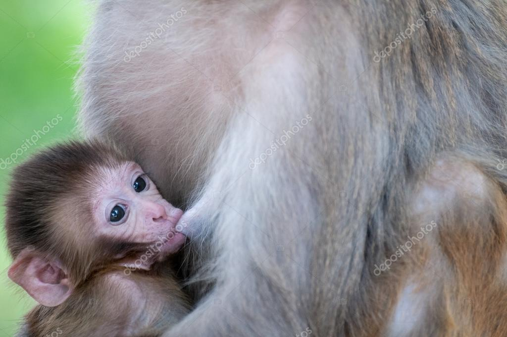 Tiny macaque breastfeeding