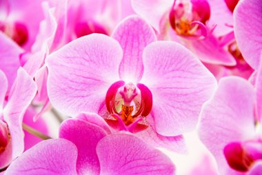 Pink bird-like orchid at Keukenhof park in Holland