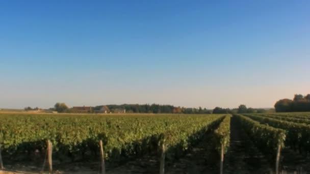 vinice - řádky vinné révy