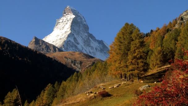 Sheep grazing in an alpine meadow in fall Matterhorn