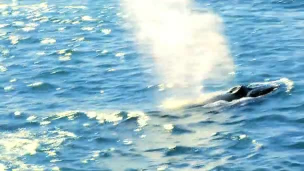 Iconic tail of humpback whales swimming in clear icelandic waters
