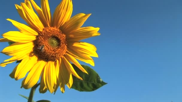 Close up of a single sunflower with bee against a blue sky