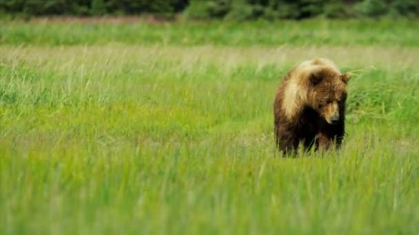 běží medvěd hnědý s mláďata v létě pastviny divočiny, yosemite