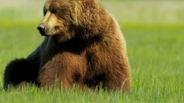 Kanadské medvěd hnědý odpočívá, Britská Kolumbie
