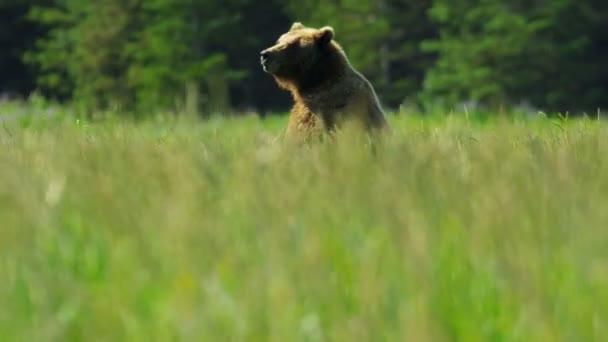 hnědý ženské medvěd vzpřímené a vědomí před spuštěním lučiny