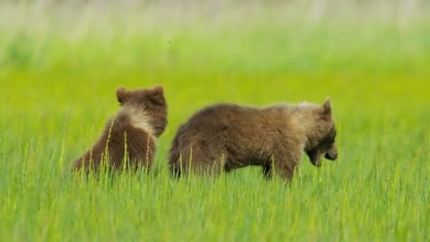 Young Brown Bear cubs on Wilderness grasslands, Alaska, USA