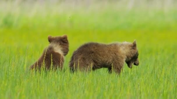 mladý medvěd hnědý mláďata na poušti lučiny, Aljaška, usa