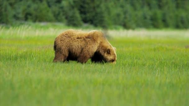 női barna medve ursus arctos etetés a gazdag növényzet, alaska, Amerikai Egyesült Államok