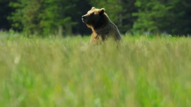 Brown female Bear upright and aware before running grasslands