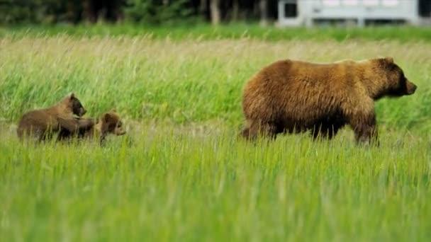 Felkapcsolás egy lift játékos barna medve cubs játszik, alaska, Amerikai Egyesült Államok
