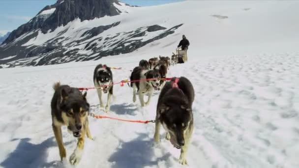 Handler challenging team of dogs