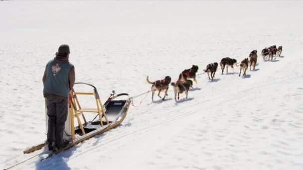 Male driving husky dog sledge
