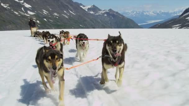 Working Alaskan Malamute dogs