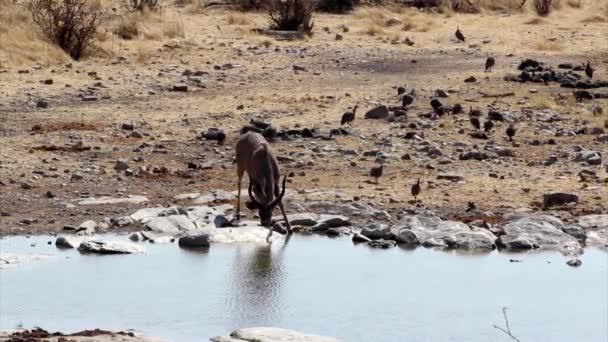 Gemsbokantelope, Etosha Nationalpark, namibia.