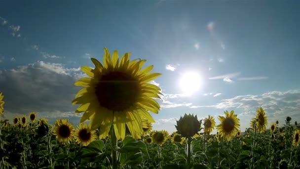 slunečnice (druh: helianthus annuus) oříznout krajina pan timelapse, Andalusie. jižní Španělsko. Slunečnice je jednoletá rostlina pěstována jako plodina pro jedlé oleje a jedlé plody