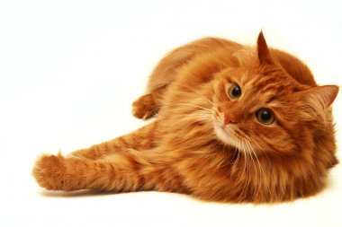 Red cat shot on a white background