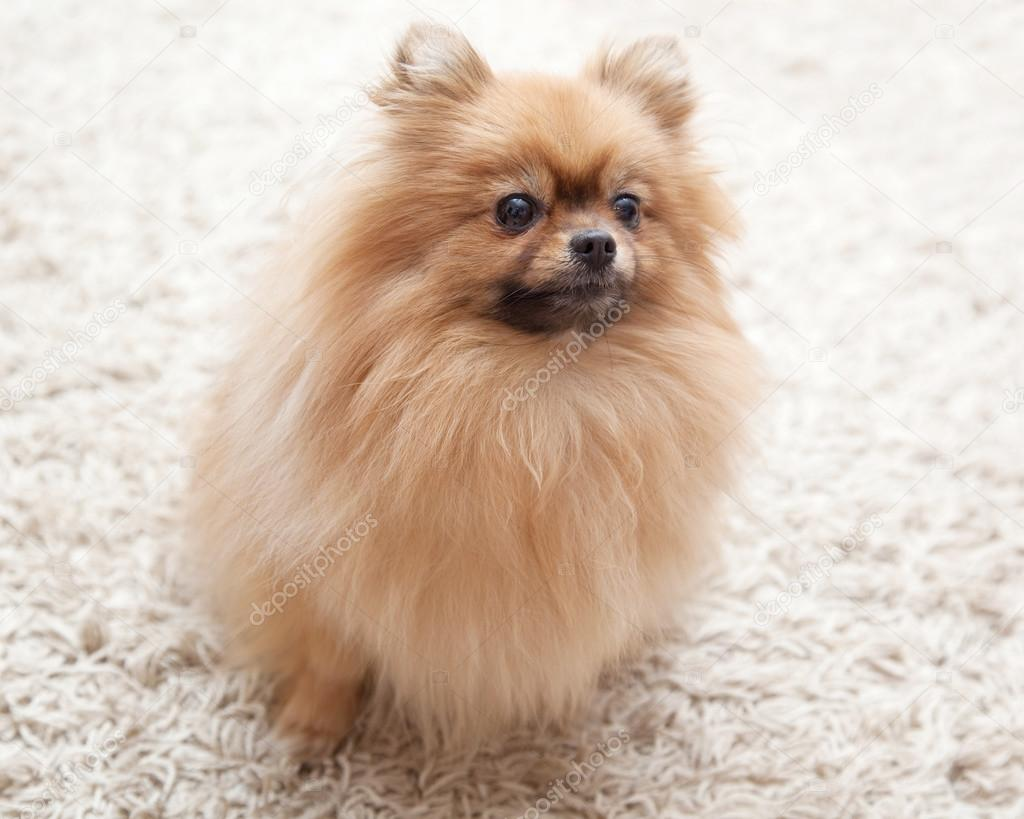Fluffy Pomeranian Dog Sitting On A Beige Carpet Stock Photo