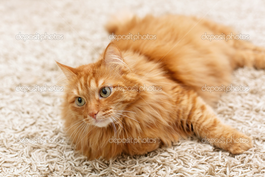 Фото пушистый рыжий кот