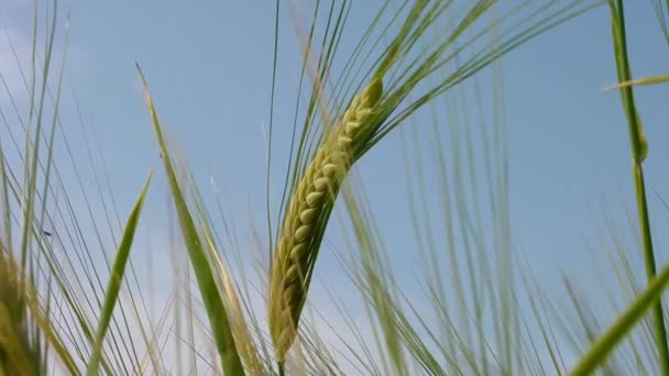 zelená pšenice na poli.