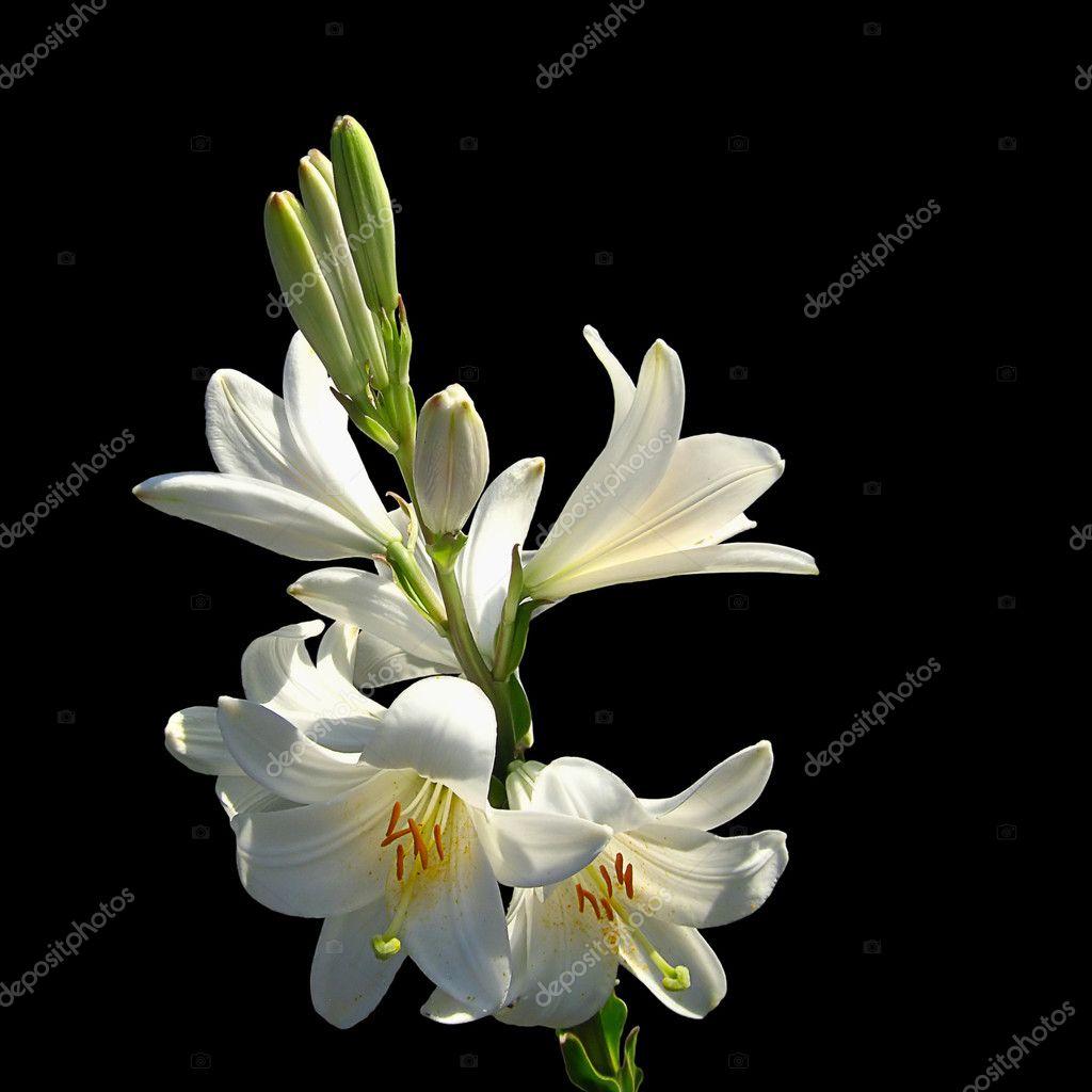 White lilies on black background stock photo whiteaster 20908477 white lilies on black background stock photo izmirmasajfo