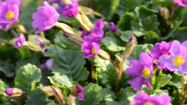 Purple flowers. Dolly shot.