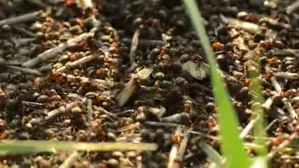 Ants on an anthill closeup on a sunset