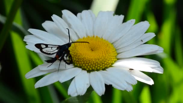 Insect collects pollen on the flower of camomile